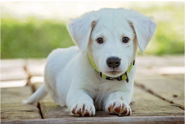 Conoce Las Mejores Razas De Perros Pequeños Para Niños Y Sus